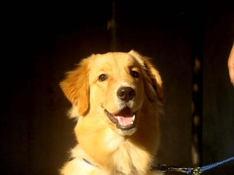 Golden Retrievers » Photos » Videos » Obessia Kennels